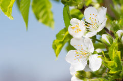 Pure white cherry flowers in tree Stock Photography