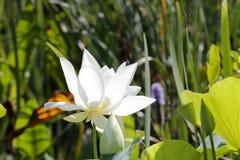 Pure white color lotus Stock Photo