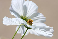 Pure White Cosmos Blossoms. Shown with a shallow depth of field create a concept for peace, purity and beauty Stock Photo
