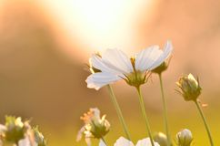 Pure White Cosmos Blossoms Royalty Free Stock Images