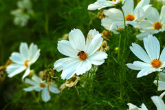 White cosmos. Pure white cosmos and little bee trying to find som nectar Stock Image