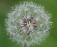 Pure  white Dandelion Stock Photos