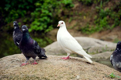 Pure white dove and gray. Snow-white dove on a rock two gray pigeons Royalty Free Stock Photo
