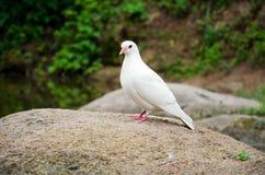 Pure white dove. Solitary white dove on stone Stock Photo