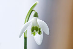 Pure white flower. White flower closeup Royalty Free Stock Photo