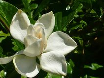 Pure white flower of magnolia. stock image