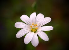 Pure white flower Stock Photography
