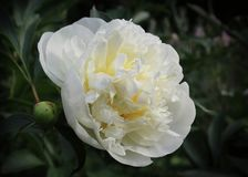 Pure White Flower of a Peony Plant stock image