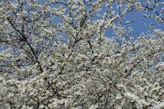 Pure white flowers of Prunus cerasifera against the sky. Pure white flowers of Prunus cerasifera against blue sky royalty free stock images