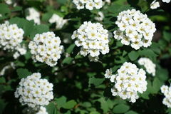 Pure white flowers of spirea. In spring Royalty Free Stock Image