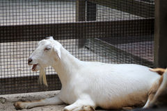 Pure white goat talking Royalty Free Stock Photo