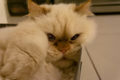 Pure white cat sleeping in a shoe box royalty free stock images