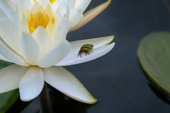 Pure White Lily with Small Green Frog Stock Photography