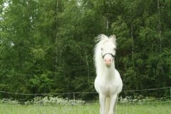 Pure white little stallion royalty free stock photography