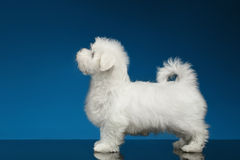 Pure White Maltese Puppy Standing and Looking up, Profile view Royalty Free Stock Image