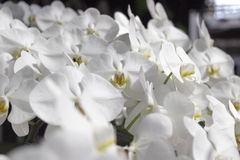 Pure white orchid flowers in garden. Background Royalty Free Stock Photos