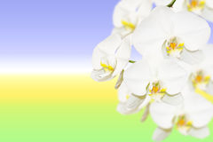 Pure white orchid flowers on natural gradient Stock Images