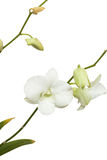 Pure White orchid on isolated white background Stock Photography