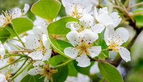 Pure white pear blossom in the spring season from close. Closeup of a pure white blossoming pear or Pyrus tree on a sunny day in the early spring season Royalty Free Stock Images