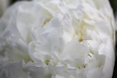 The white peony, the purity of feelings. A pure white peony, the symbol of purity and trust Stock Photo