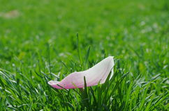 A pure white and pure pink magnolia flowers petal in the green lawn. Spring, a pure white and purple pink magnolia flowers petal in the green lawn Royalty Free Stock Photos