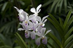 Pure white and purple orchid stock photo