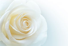 Pure White Rose Stock Images