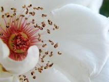 A pure white rose Royalty Free Stock Photo