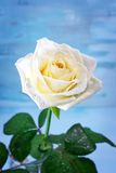 Pure white rose with water drops Stock Image