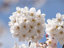 Pure White Sakura. Cherry blossom is an omen of good fortune and is also an emblem of love, affection and represents spring in Japan Royalty Free Stock Photography