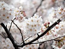 Pure White Sakura. Cherry blossom is an omen of good fortune and is also an emblem of love, affection and represents spring in Japan Stock Images