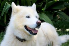 Pure White Siberian Husky Dog with Blue Eyes close up portrait. On green background Stock Photos