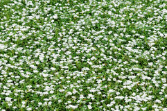 Pure white small white flowers Royalty Free Stock Photo