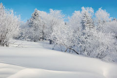 The pure white snow and trees with rime Royalty Free Stock Photo