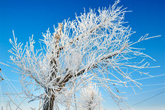 Pure white soft rime in blue sky. The photo was taken in Wusong island Ulla manchu town Longtan district Jilin city Liaoning provence,China Stock Photography