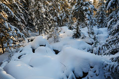 The pure white soft snow covered in forest Stock Photo