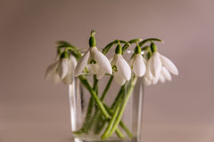 Pure white spring snowdrop flowers on beige background. Stock Photo