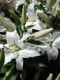 Pure white tiger lilies. A bunch of perfect white tiger lilies and buds. Velvet texture and detail are shown in the petals Stock Photo