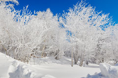 The pure white trees with soth rime and blue sky Stock Photos