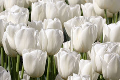 Pure White Tulip Garden Royalty Free Stock Image