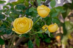 Pure yellow roses blooming in garden royalty free stock images