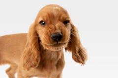 Studio shot of english cocker spaniel dog isolated on white studio background. Pure youth crazy. English cocker spaniel young dog is posing. Cute playful white stock image