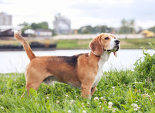 Purebered beagle standing in green grass Stock Images