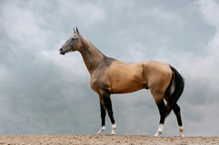 Pureblood akhal-teke stallion Royalty Free Stock Image