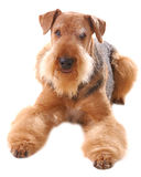 Dog Airedale. Pureblooded dog Airedale isolated on white background royalty free stock photography