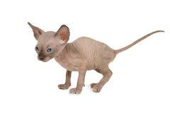 Purebred φορά τη γάτα γατακιών Sphinx Στοκ Φωτογραφίες