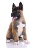 purebred щенка akita Стоковая Фотография RF