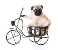 purebred щенка pug Стоковая Фотография