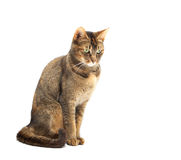 Purebred Abyssinian Royalty Free Stock Image