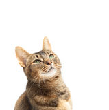 Purebred Abyssinian Stock Image